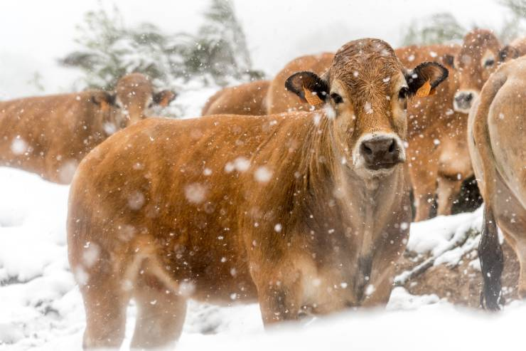 a group of brown cows huddle together in the snow