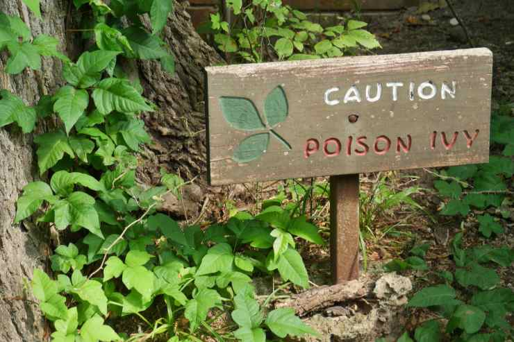 """a cluster of poison ivy around the base of a tree with a wooden sign that reads """"caution poison ivy"""""""