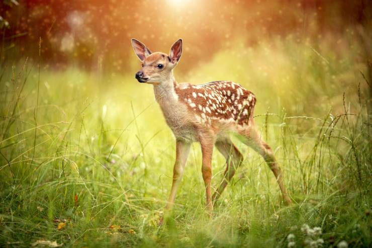 a fawn stands in a grassy sunlit meadow