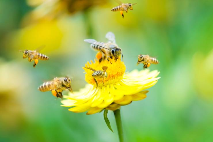 5 bees fly around a yellow flower
