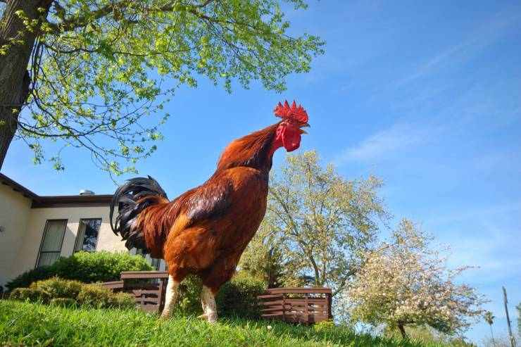 a rooster crowing in the yard of a home