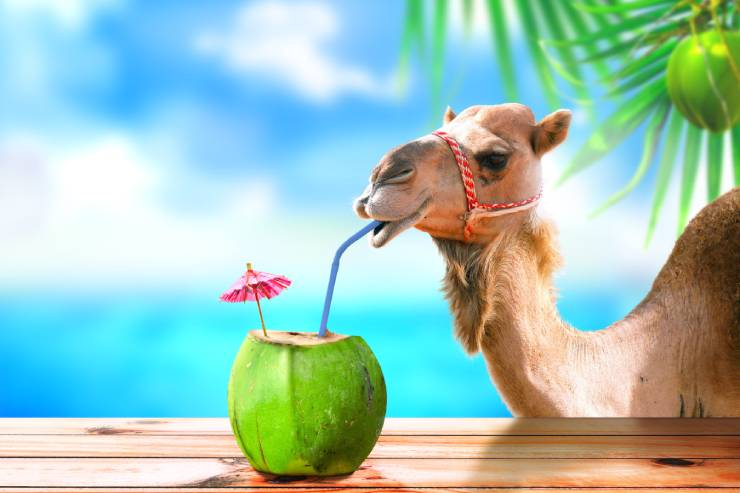 a camel sits at a tropical bar sipping out of a coconut drink with a paper umbrella