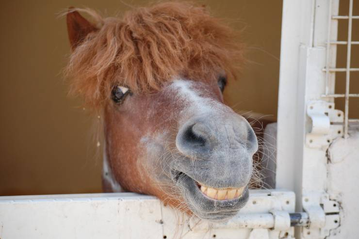 a dusty brown horse sticks its head over the white stall gate and shows its teeth