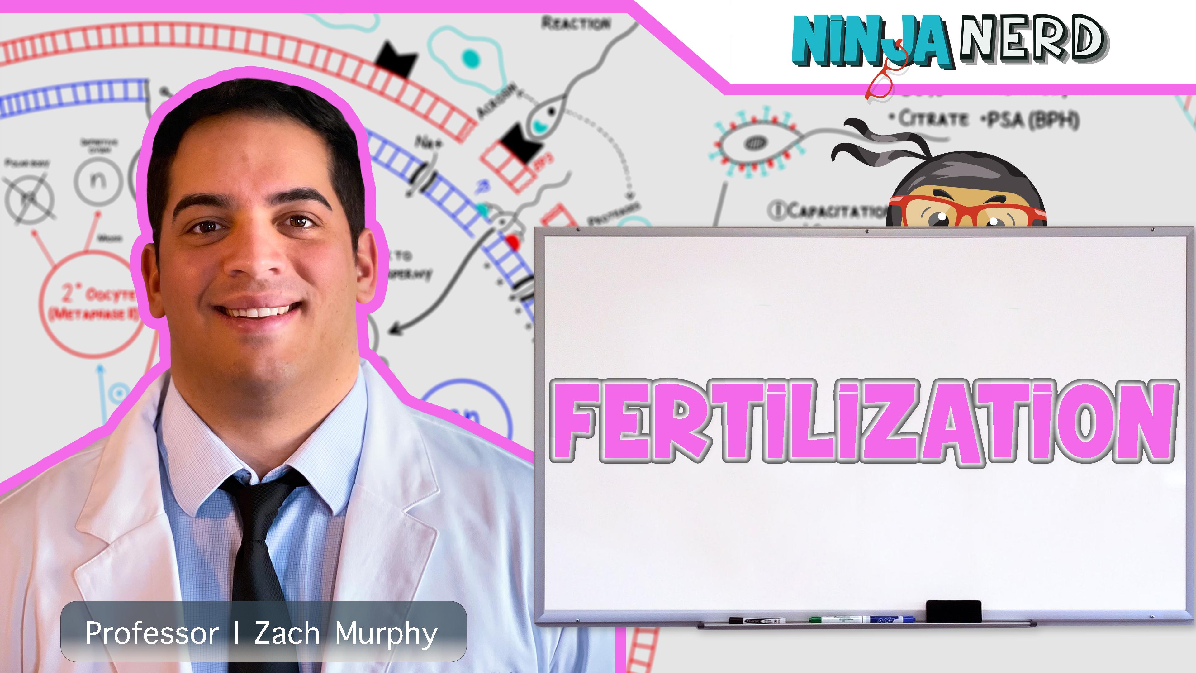 Reproductive System   Fertilization
