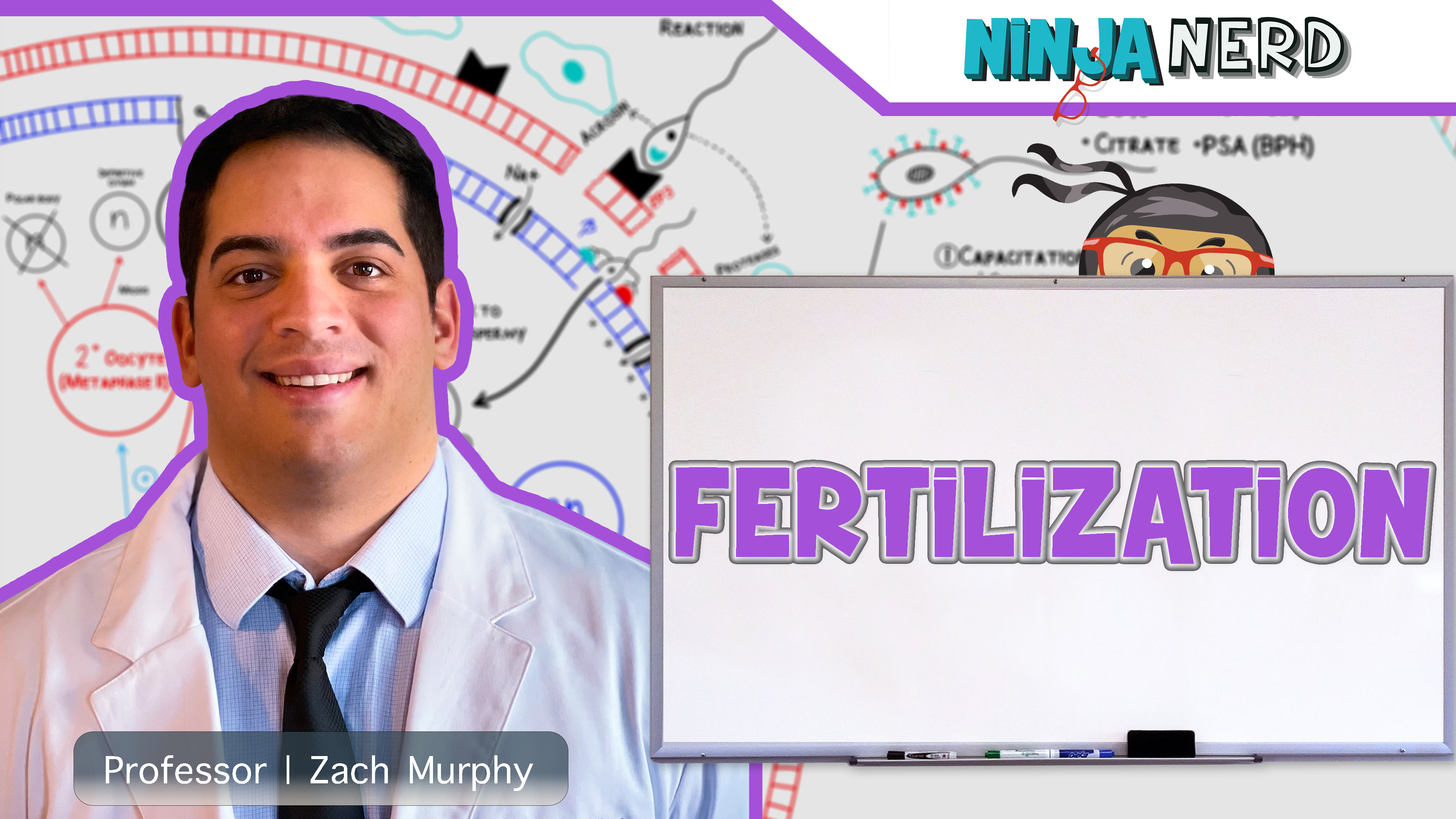 Reproductive System | Fertilization