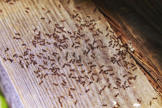 Ant infestation crawling on wooden beam of a house