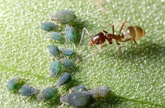Single Argentine ant farming green aphids on the surface of a leaf