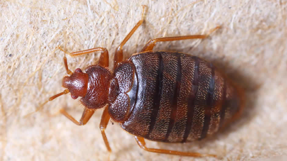 Close up of adult Bed Bug