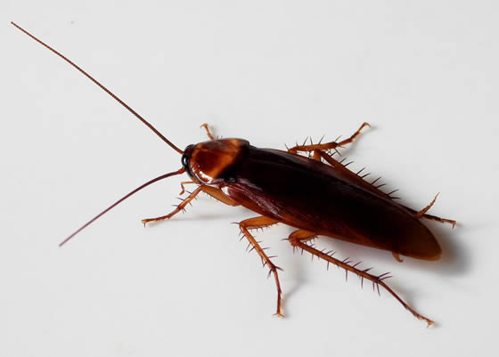 An American Cockroach, common in New Zealand