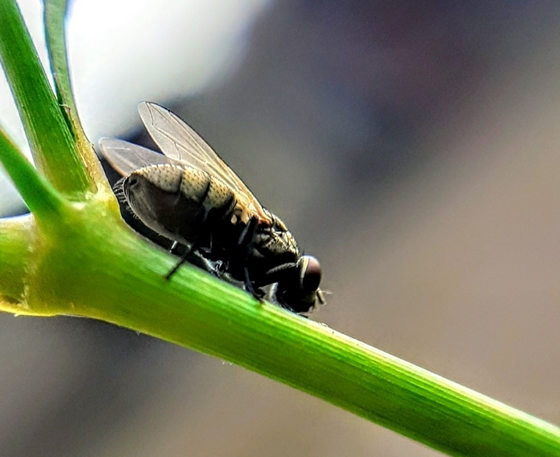 Close up of Sandfly sitting on plant stalk