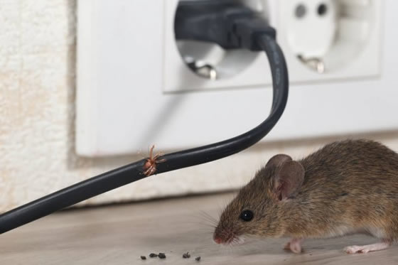 Mouse next to chewed fraying wire with rodent droppings
