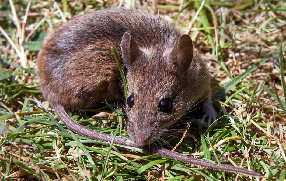 Brown mouse sitting on grass outside