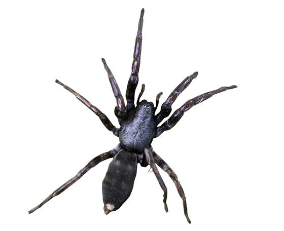 Whitetail Spider on white background