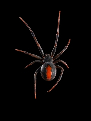 Close up of Katipō Spider on black background