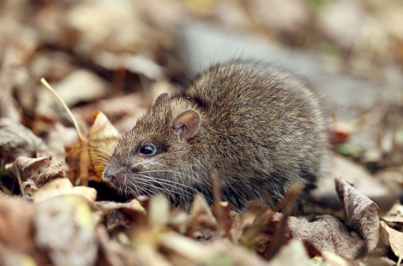 Removing Rats and Mice