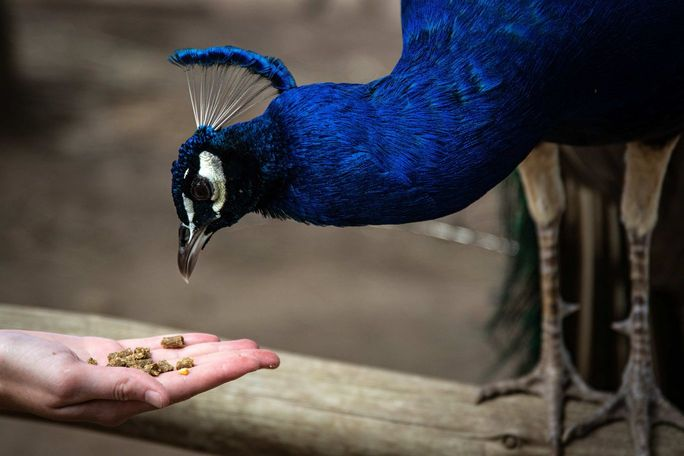 A peacock eating food out of a person's hand [Unioncrate]