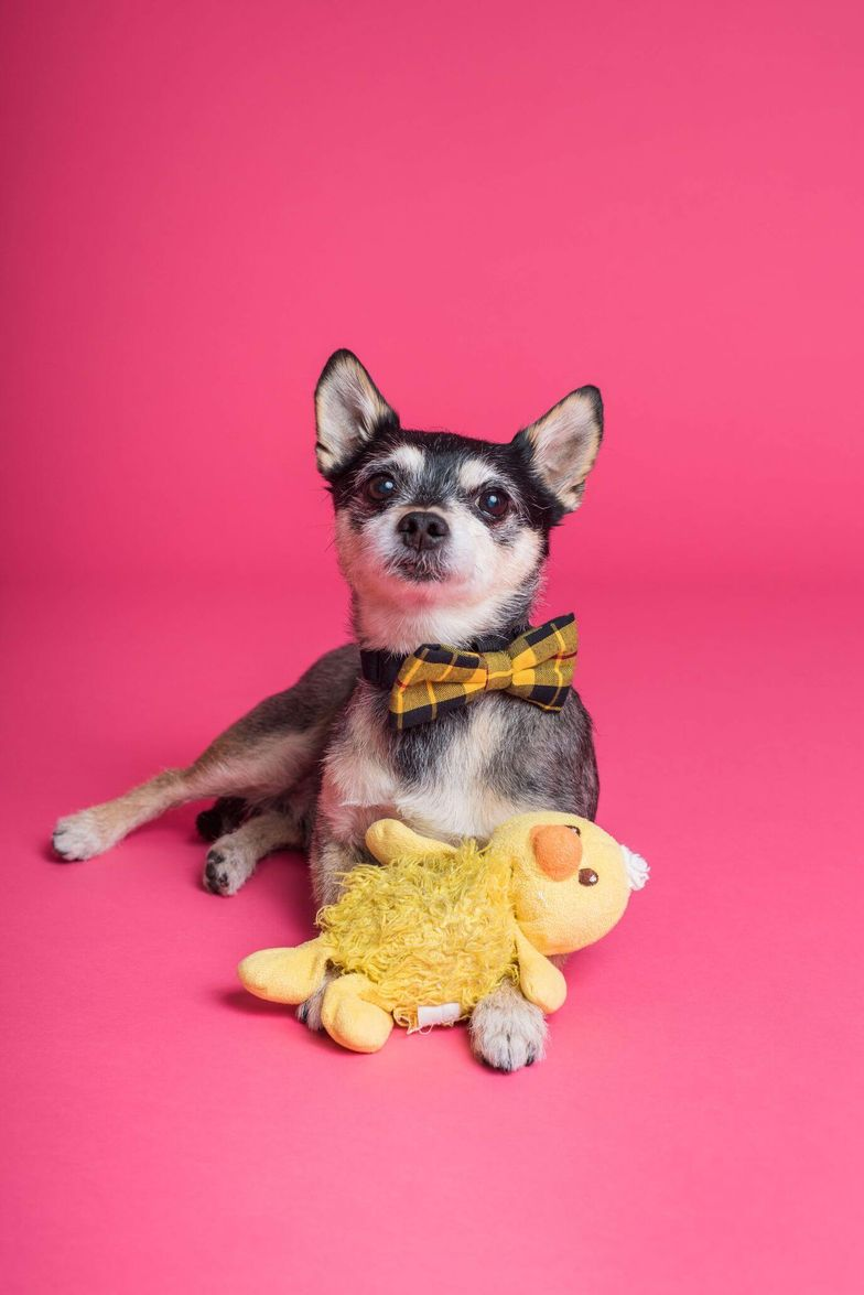 Chihuahua wearing a bowtie with a chicken toy [Unioncrate]