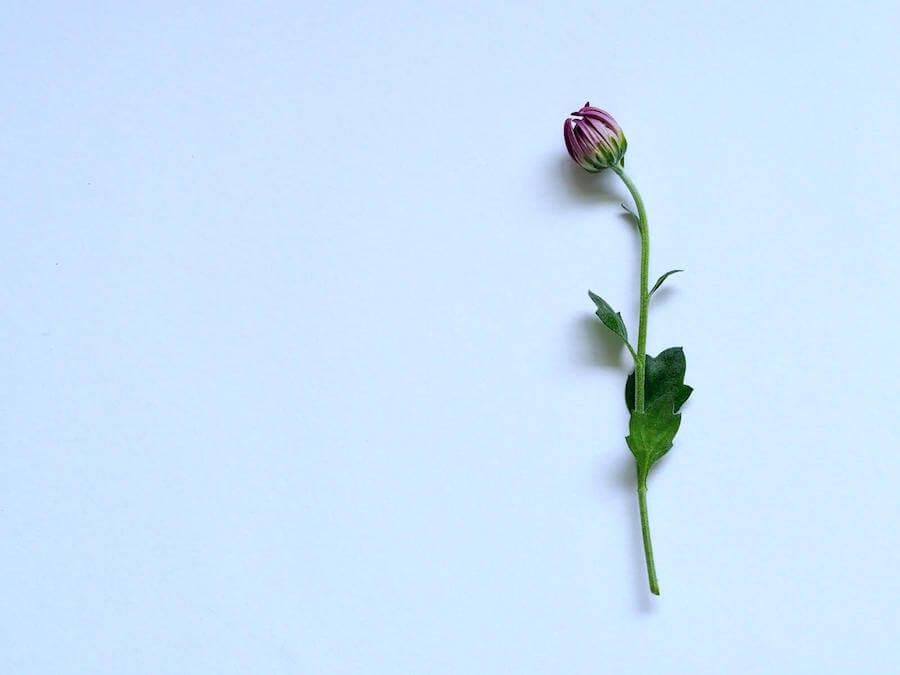 single lonely flower on white background black nurse