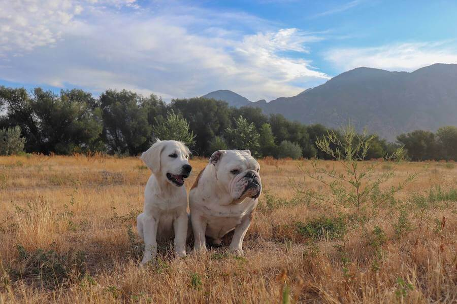 two dogs travel nursing with dogs